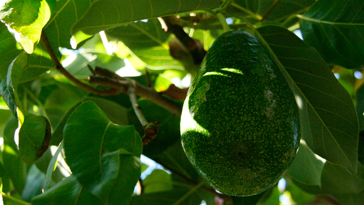 productores aguacate
