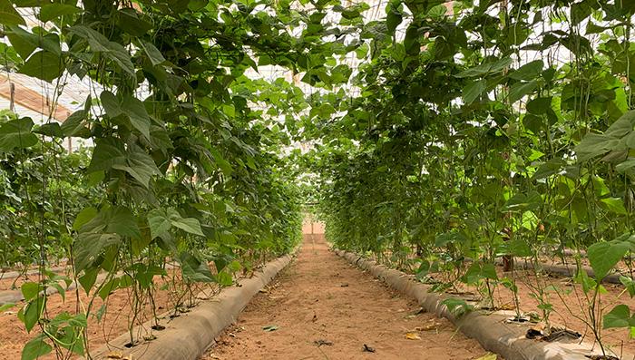 mayorista de judía verde marcafruit cultivo propio
