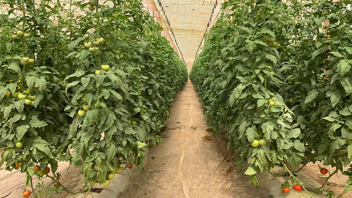 mayorista de judía verde marcafruit campos de cultivo