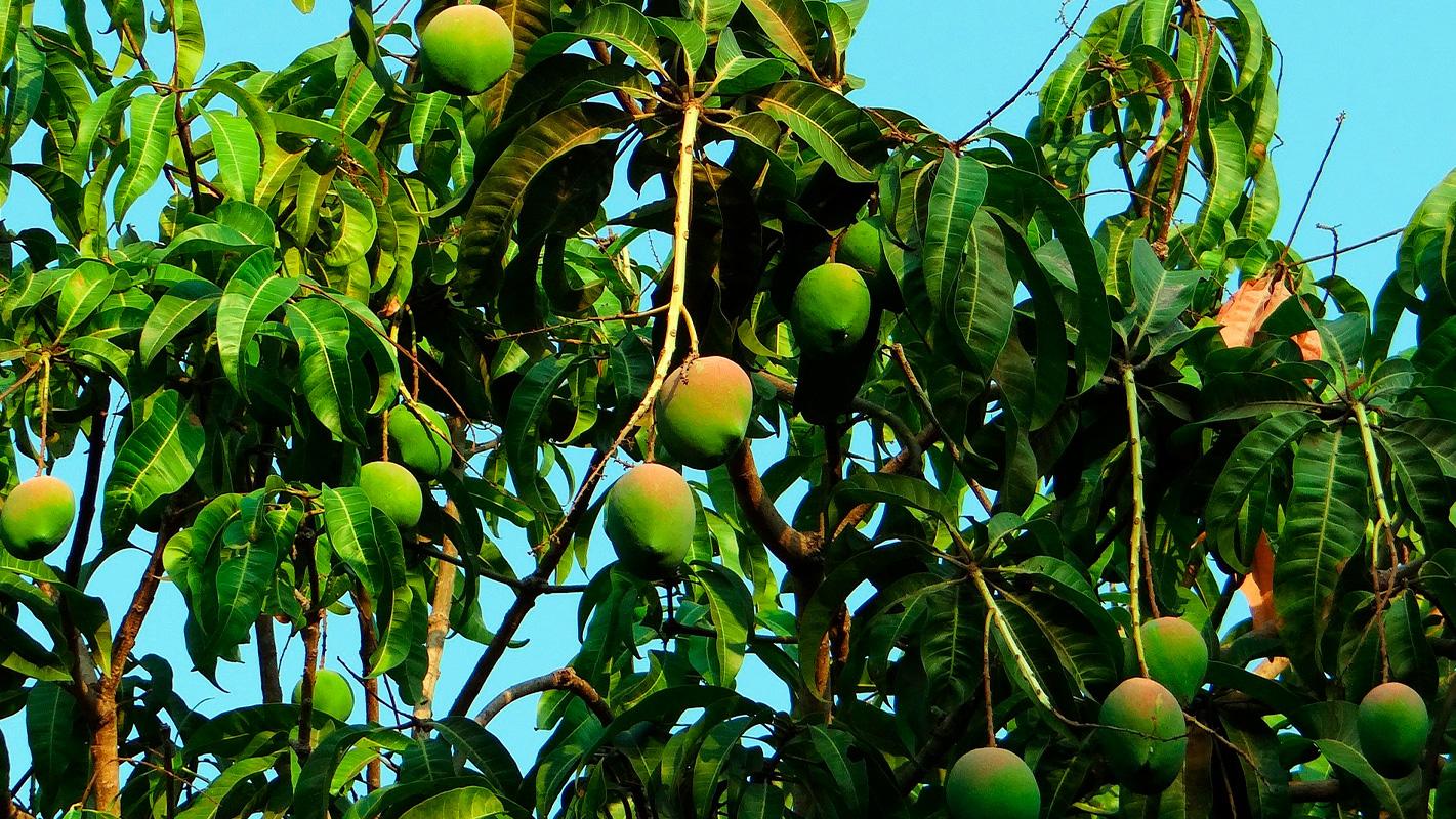 proveedor mangos